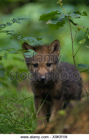 Grey wolf pup (Canis lupus) - Stock Photo