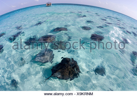 PHOTOGRAPHING SOUTHERN STINGRAYS DASYATIS AMERICANA AT A DIVE SITE KNOWN AS THE SANDBAR GRAND CAYMAN - Stock Photo