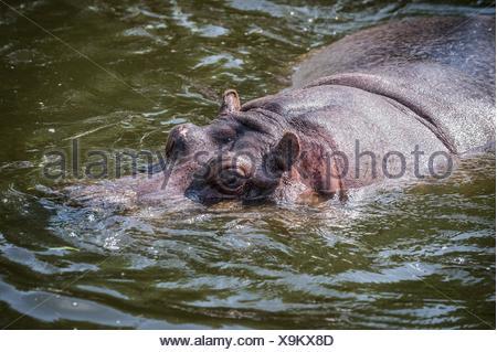 Hippopotamus amphibius swimming in the water. - Stock Photo
