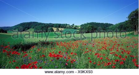 Switzerland, Solothurn, hill scenery, meadow, poppies, flower meadow, flowers, clap poppy seed, cornflowers, plants, nature, scenery - Stock Photo
