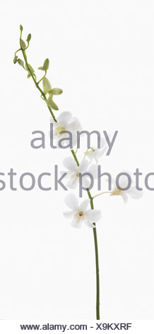 Dendrobium 'Living dreams white', Orchid, White flowers and buds on single stem against a white background. Stock Photo
