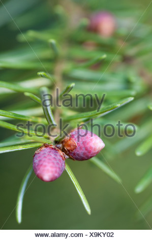Pinus, Abies, Picea, Pine, Fir, Spruce, - Stock Photo
