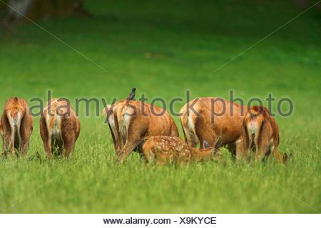 red deer (Cervus elaphus), herd of stags grazing, Germany, Bavaria - Stock Photo