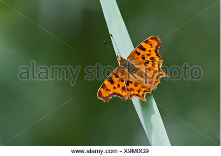 Comma Butterfly Polygonia c-album Norfolk - Stock Photo