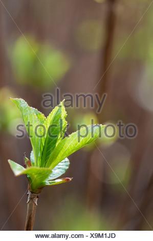 New green leaves of Hydrangea macrophylla 'Libelle' emerging in sunlight. - Stock Photo