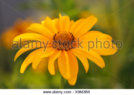 Germany, Smooth oxeye, close up - Stock Photo