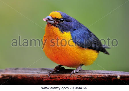 Tiny Yellow-throated euphonia (euphonia hirundinacea), colorful, Cayo District, Belize - Stock Photo