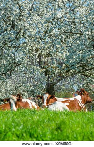domestic cattle (Bos primigenius f. taurus), three cows ruminating on grass before blooming cherry trees, Germany, North Rhine-Westphalia - Stock Photo