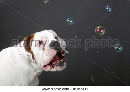 white Boxer - watching bubble soaps - Stock Photo