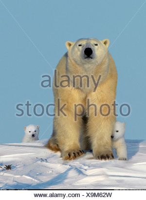 Polar Bear mother with young cubs Manitoba Canada - Stock Photo