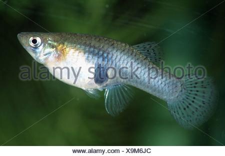 mosquito fish, mosquitofish (Gambusia affinis cf. affinis), pregnant female, Croatia - Stock Photo