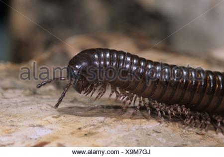 Millipedes (Archispirostreptus gigas), captive - Stock Photo