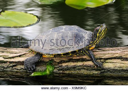 Red-eared Slider turtle (Trachemys scripta elegans) sunbathing on a log floating in the water - Stock Photo