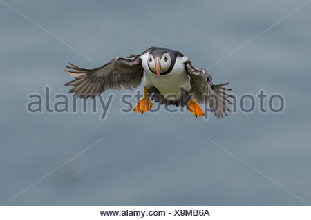 An Atlantic puffin, Fratercula arctica, coming in for a landing. - Stock Photo