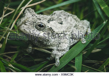 Eastern gray tree frog (hyla versicolor), Maryland, USA - Stock Photo
