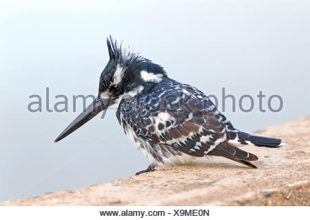 lesser pied kingfisher (Ceryle rudis), sitting on a wall, South Africa, Krueger National Park - Stock Photo