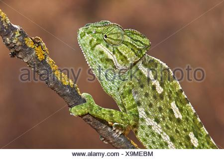 European Chamaleon (Chamaeleo chamaeleon) on a tree branch. Benalmadena, Malaga Province, Andalusia, Spain. - Stock Photo