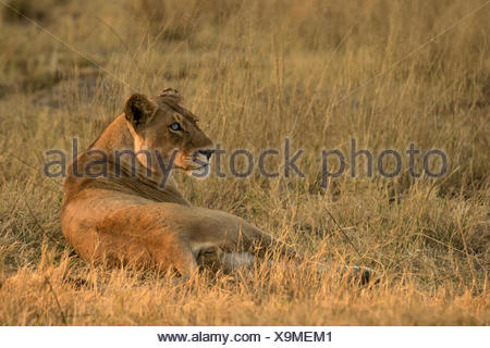 A female African lion in the Okavango Delta's Moremi Game Reserve. - Stock Photo