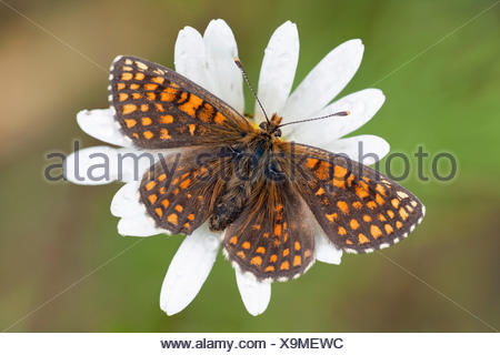 Heath Fritillary (Melitaea athalia), butterfly perched on an Ox-eye Daisy (Leucanthemum vulgare), North Hesse, Hesse, Germany - Stock Photo