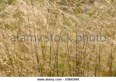 tufted hair-grass (Deschampsia cespitosa), with morning dew, Germany - Stock Photo