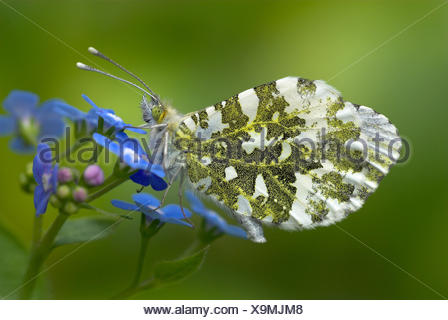 Orange Tip Butterfly, Anthocharis cardamines, adult, female, wings closed showing underside, resting on forget-me-not flower, blue, green - Stock Photo