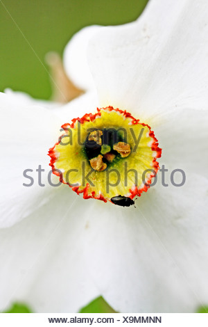 Small dark beetle on narcissus corona  Minute leaf beetle clings to the red edge of a narcissus corona  Narcissus against green - Stock Photo