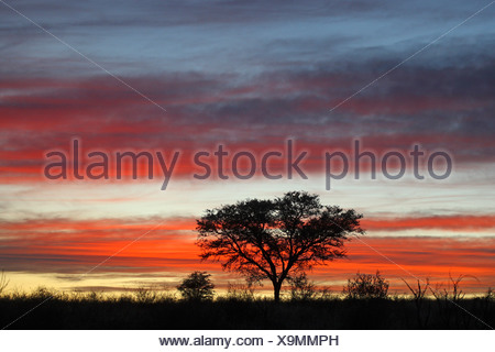 silhouette of a single tree in the savannah at sunset, South Africa, Kgalagadi Transfrontier National Park - Stock Photo