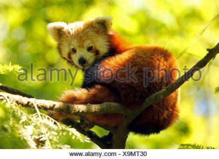 Red panda (Ailurus fulgens) captive, Sweden - Stock Photo