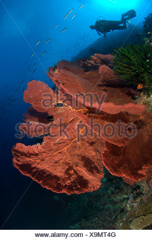 Sea fans and diver - Stock Photo