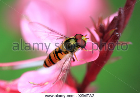Marmalade hoverfly (Episyrphus balteatus), sitting on a pink flower, Germany - Stock Photo