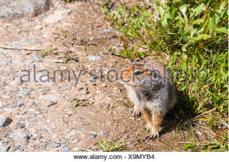 Close up of a Arctic ground squirrel in Denali National Park, Interior Alaska - Stock Photo