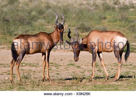Tsessebes Kgalagadi Transfrontier Park, Kalahari Gemsbok Park, Botswana and South Africa. - Stock Photo