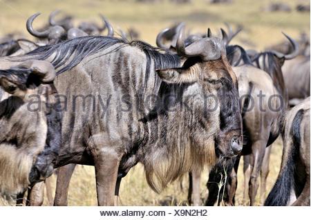 Wildebeests in Masai Mara - Stock Photo