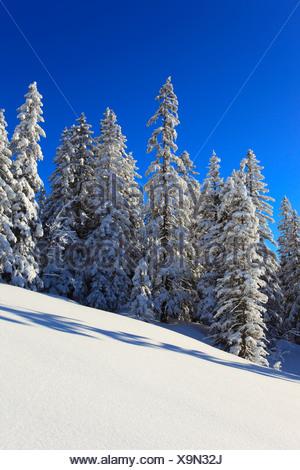 Alps, trees, spruce, spruces, sky, snow, Switzerland, Europe, sun, sunshine, fir, firs, wood, forest, winter, alpine, blue, sunn - Stock Photo