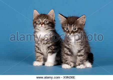 Two Siberian forest kittens, 7 weeks - Stock Photo