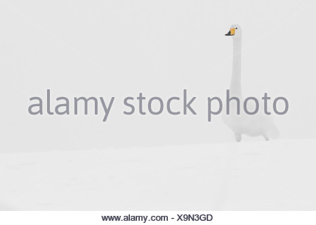 Germany, Schleswig-Holstein, Whooper swan, Cygnus cygnus, standing in the snow - Stock Photo