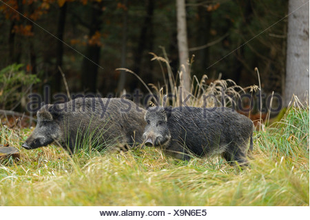 wild boar, pig, wild boar (Sus scrofa), two wild boars on a clearing, Germany, Bavaria - Stock Photo