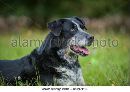 Louisiana Catahoula Leopard Dog Portrait - Stock Photo