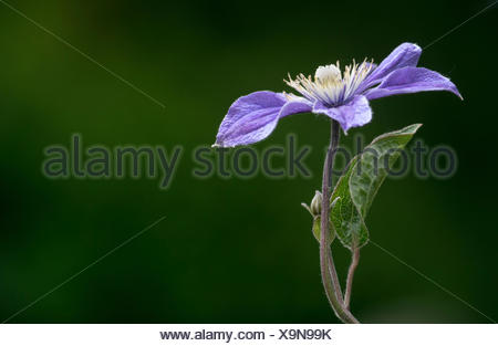 Purple Clematis (Clematis viticella 'Prince Charles') - Stock Photo