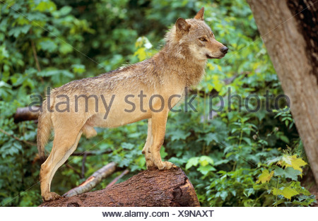gray wolf - standing on tree trunk / Canis lupus - Stock Photo