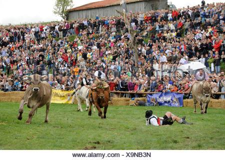 Ox race in Muensing, Upper Bavaria, Bavaria - Stock Photo