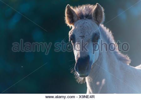 young konik foal - Stock Photo