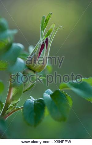 Rugosa rose, Japanese rose (Rosa rugosa), flower bud, Germany - Stock Photo