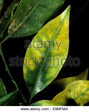 Chlorosis to an orange leaf caused by magnesium deficiency in the tree - Stock Photo