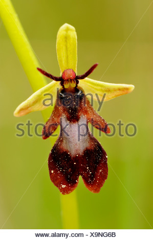 Fly Orchid blossom (Ophrys insectifera) - Stock Photo