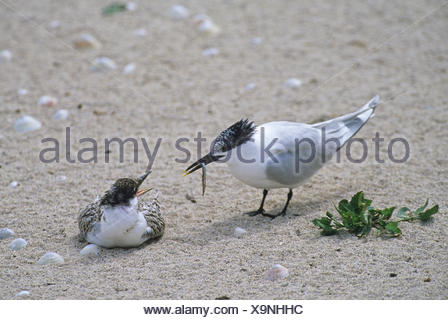 Sandwich Tern Thalasseus sandvicensis adult feeding fledged young on beach Farne Islands Northumberland - Stock Photo