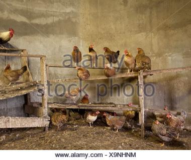 Free range Chicken on post, Iceland - Stock Photo