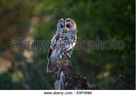 Tawny owl sitting on a stump UK - Stock Photo