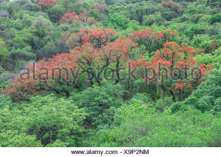 Blooming Cockspur Coral Tree (Erythrina crista-galli), Salta, Argentina - Stock Photo
