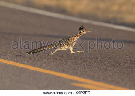 Roadrunner - Stock Photo